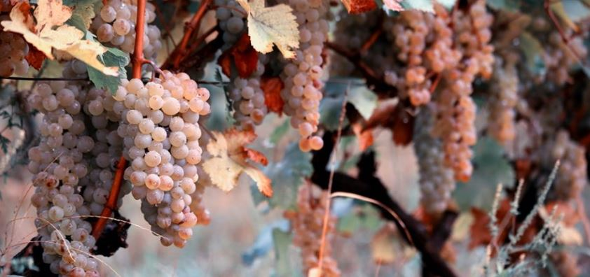 54 Thousand Tons of Different Grapes Processed in Kakheti